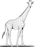 Coloriage girafe sur top coloriages coloriages girafe - Coloriage de girafe ...