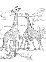 Coloriage Girafe Sur Top Coloriages Coloriages Girafe