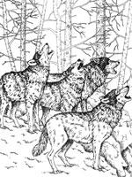 Coloriage Loup Sur Top Coloriages Coloriages Loup