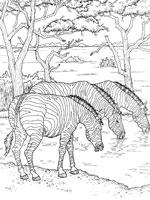 Coloriage z bre sur top coloriages coloriages zebre - Zebre coloriage ...