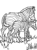 Coloriage Bebe Zebre.Coloriage Zebre Sur Top Coloriages Coloriages Zebre